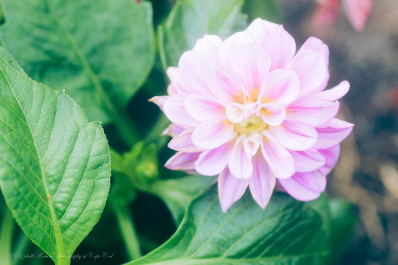 Pastel Pink Dahlia