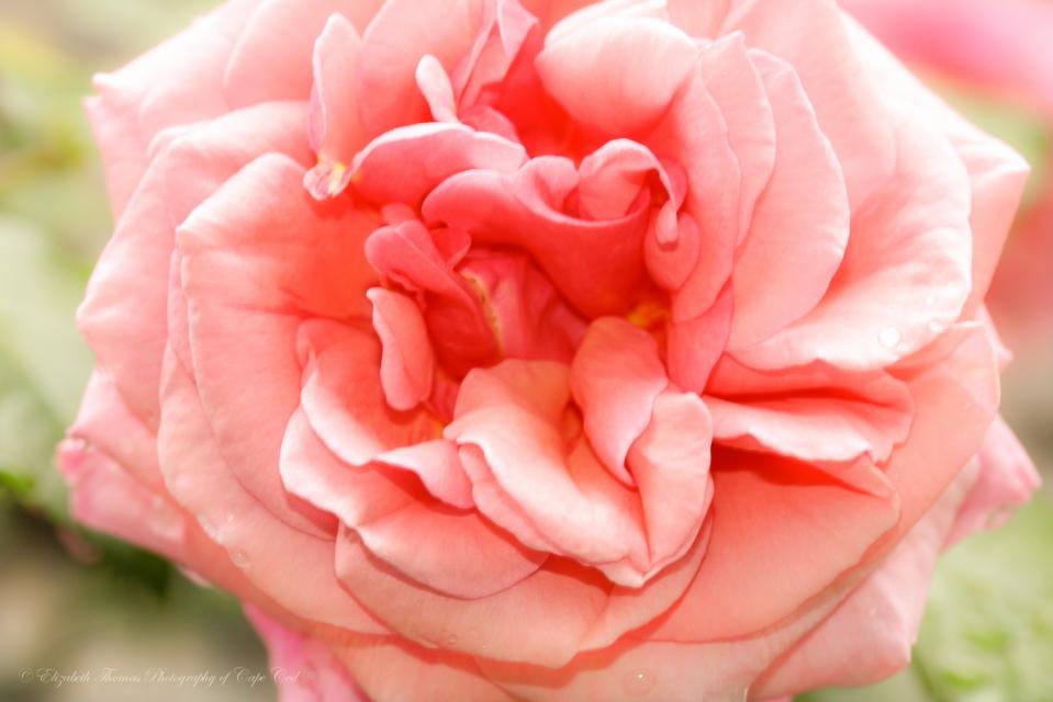 https://www.etsy.com/listing/159282449/soft-pink-rose-flower-art-floral-print?ref=shop_home_active