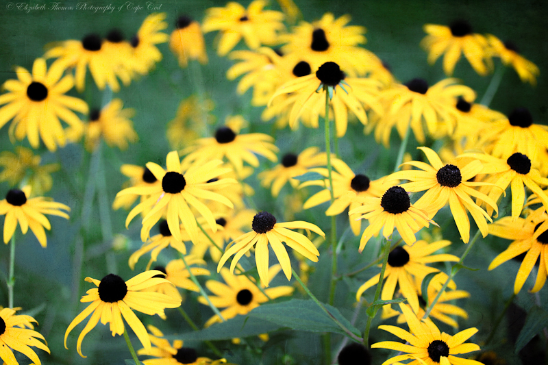 A Gathering of Black Eyed Susan